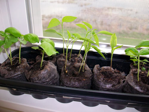 How to Grow Jalapeno Peppers from Seed